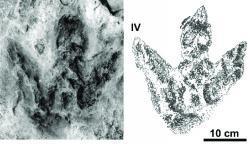"""Ichnotaxon Moyenisauropus karaszevskii, tříprstá stopa středně velkého ptakopánvého dinosaura, žijícího v období nejranější jury (asi před 201 až 199 miliony let) na území dnešního středního Polska. Velmi podobné stopy však známe i z jiných míst světa, a tak je možné, že jejich původce byl značně geograficky rozšířený. O tom, že zkamenělé otisky jeho stop jednou poslouží jako důkaz jakési """"přítomnosti temných sil"""", nemohl mít samozřejmě žádné tušení. Kredit: Gierliński, G. D. a Kowalski K. Z.; 2006 (převzato z webu ResearchGate)"""