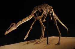 """Ještě rychleji běhajícími dinosaury mohli být ornitomimidi neboli """"pštrosí dinosauři"""". U těchto dlouhonohých kurzoriálních teropodů dosahují odhady maximální rychlosti běhu až přes 60 km/h. Na snímku kostra tři metry dlouhého mongolského ornitomimida druhu Anserimimus planinychus. Kredit: Eduard Solá; Wikipedie (CC BY-SA 3.0)"""