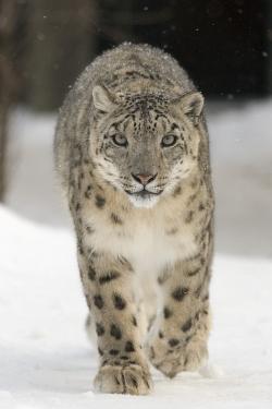 Irbis neboli levhart sněžný je kočkovitá šelma žijící v horských masívech Střední Asie. Tato šelma přibližně o velikosti levharta skvrnitého patří k nejlepším skokanům mezi všemi současnými obratlovci. Podle různých údajů dokáže skočit do dálky úctyhodných 9 až 14 metrů. Kredit: Bernard Landgraf; Wikipedia (CC BY-SA 3.0)