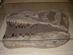 """Replika lebky tarbosaura v původní expozici Národního Muzea v Praze (snímek z roku 2007). Běžně objevované fosilie tohoto obřího teropoda existenci žádných anatomických struktur podobných hrdelním vakům pelikánů nenasvědčují. To ovšem neznamená, že u živého zvířete nemohly být tyto """"měkké tkáně"""" přítomné, protože ve fosilním záznamu se stopy po nich zachovají jen velmi vzácně. Kredit: Vlastní snímek; Wikipedie (CC BY-SA 4.0)"""