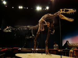 """Snímek názorně dokládá, jak lehce stavěný a """"atletický"""" byl mladý jedinec druhu T. rex oproti dospělému jedinci (kostra v pozadí). Mládě tyranosaura, které zde představuje slavný jedinec """"Jane"""", měřilo v 11 letech věku kolem 6 metrů na délku a vážilo asi 700 kg. Mladí tyranosauři dokázali zřejmě velmi rychle běhat, a to bez rizika, které podobná aktivita skýtala mnohem těžším dospělým jedincům. Kredit: Volkan Yuksel, Wikipedie (CC BY-SA 3.0)"""