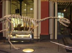Část repliky kostry elafrosaura v berlínském Přírodovědném muzeu. Fosilie tohoto teropoda objevili účastníci německé paleontologické expedice do své někdejší kolonie Německé východní Afriky v letech 1909 až 1911. Dinosaurus pak byl formálně popsán přesně před sto lety, tedy v roce 1920. Kredit: Vlastní snímek, Wikipedie (CC BY-SA 4.0)
