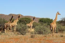 Podle některých odhadů dokážou žirafy na kratší vzdálenost vyvinout rychlost i přes 60 km/h, čímž by se výrazně blížily například i závodním koňům. Zatím však nebyl doložen případ, kdy by dospělý jedinec žirafy běžel prokazatelně rychlostí přes 40 km/h. Kredit: Charles J. Sharp; Wikipedia (CC BY-SA 4.0)