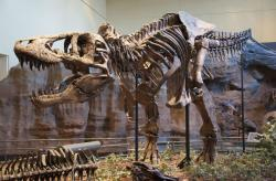 Kostra holotypu druhu T. rex, dnes s označením CMNH 9380. Při délce necelých 12 metrů byl tento exemplář zhruba stejně velký jako UCMP 118742. Zatímco holotyp byl však dospělým exemplářem, zmíněný jedinec měl v době své smrti zřejmě jen 16 let. Mohl tedy potenciálně dorůst podstatně větších rozměrů. Kredit: ScottRobertAnselmo, Wikipedie (CC BY-SA 3.0)