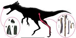 Hypotetická silueta těla a znázorněné dochované fosilie morose. Tento tyranosauroid z Utahu byl předzvěstí budoucí slávy čeledi Tyrannosauridae, jejíž nejstarší známí zástupci se objevují asi o 15 milionů let později. Kredit: Lindsay E. Zanno et al.; Wikipedie (CC BY 4.0)