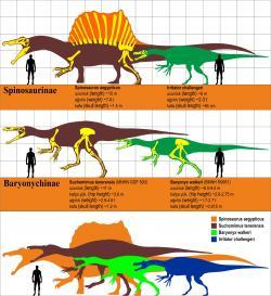 Přehledný diagram zobrazující přibližnou velikost dospělých jedinců některých druhů spinosauridů. Gigantický severoafrický druh Spinosaurus aegyptiacus je v současnosti největším známým teropodem vůbec. Kredit: Oktaytanhu, Wikipedie (CC BY-SA 4.0)