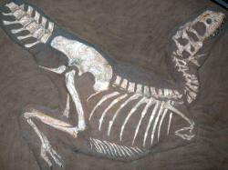 Velmi dobře zachovaná kostra tarbosaura (exemplář PIN 553-1), která je zároveň holotypem dnes již neplatného druhu Gorgosaurus lancinator. V současnosti známe již přes třicet fosilních exemplářů tarbosaura, mnohé z nich ve skvělém stavu dochování a vysoké kompletnosti. První fosilie tohoto teropoda byly objeveny sovětskými paleontology již před 75 lety. Kredit: Gunnar-Ries; Wikipedia (CC BY-SA 3.0)