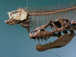 U některých exemplářů tyranosaurida druhu Gorgosaurus libratus byly objeveny fragmenty původního sklerotikálního prstence. Je tedy možné, že tento podpůrný anatomický prvek byl přítomen i u mladšího a většího druhu T. rex. Kredit: M. Beauregard; Wikipedie (CC BY 2.0)