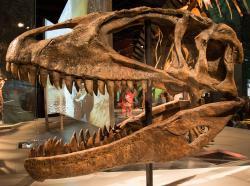 Charakteristicky dlouhá a nízká lebka karcharodontosaura s velkým preorbitálním otvorem. Délka lebek těchto dinosaurů se pohybuje mezi 1,5 – 1,7 metru a jsou tak delší (i když méně masivní) než lebky tyranosaurů. Kredit: M. Deery, Wikipedie