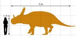 Obrázek zachycující velikostní porovnání dospělého člověka a průměrně vzrostlého jedince rohatého dinosaura sinoceratopse. Tento čínský ceratopsid byl zhruba stejně dlouhý, ale poněkud robustnější, než jeho blízcí příbuzní ze Severní Ameriky. Při délce 6 metrů tak dosahoval hmotnosti přes 2000 kilogramů. Kredit: PaleoGeekSquared, Wikipedie (CC BY-SA 4.0)