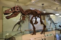 Dnes už si sotva dokážeme představit vystavenou kostru tyranosaura s vertikální páteří, tedy alespoň v případě skutečně kvalitních rekonstrukcí. Zde slavný kosterní exemplář AMNH 5027 v Americkém přírodovědeckém muzeu v New Yorku, renovovaný v 90. letech minulého století. Kredit: Evolutionnumber9; Wikipedia (CC BY-SA 4.0)