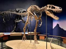 """Původce otisků stop od Glenrocku byl velký zhruba jako slavný exemplář """"Jane"""" z instituce Burpee Museum of Natural History ve městě Rockford (stát Illinois). Tento asi 11 let starý jedinec vážil necelou tunu a díky svým silným dlouhým nohám nejspíš dokázal rychle běhat. Na rozdíl od několikatunových dospělců tak mohl lovit menší a rychlejší kořist. Kredit: Zissoudisctrucker; Wikipedie (CC BY-SA 4.0)."""