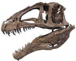 Rekonstrukce lebky druhu A. atokensis (exemplář NCSM 13345) ukazuje poměrně typický tvar v rámci lebek karcharodontosauridů. Ačkoliv nebyla tak velká, jako lebka příbuzných rodů Giganotosaurus, Carcharodontosaurus nebo Mapusaurus, i lebka akrokantosaura byla při délce téměř 130 centimetrů impozantní. Kredit: C. Hendrickx, Wikipedie (CC BY-SA 3.0)
