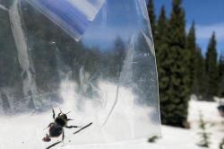 Ukázka lapače s lepivým povrchem, kterým vědci zjišťovali počty a rozmanitost hmyzu. Kredit: Seth Davis