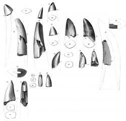 """Fosilní zuby, popsané roku 1856 Josephem Leidym jako """"Deinodon horridus"""". Byly objeveny na území současné Montany a ve skutečnosti patřily zřejmě druhu Gorgosaurus libratus. Jde zřejmě o nejstarší prokazatelně objevené fosilie tyranosauridů. Kredit: Joseph Leidy, Wikipedie (volné dílo)."""