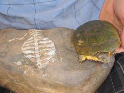 """Extrémní suché prostředí přivedlo jednoho tvora ke změnám kosterního skeletu tak aby více vyhovoval k zahrabávání před vedrem. Později se tato plochá žebra začlenila do krunýře, který začal plnit u těžko pohyblivých zvířat obrannou funkci před predátory. Pro srovnání autor drží dnešní africkou vodní želvu """"tereku"""" (Pelusios).Kredit: Luke Norton"""
