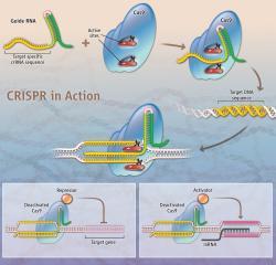 Jak funguje CRISPR? Kredit: K. Sutliff / Science.