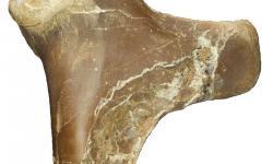 Pravý humerus  (kost z horní končetiny) je 25 cm dlouhá.Kredit: David Hone