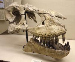 Holotyp druhu Tarbosaurus bataar, částečně zachovaná lebka s označením PIN 551-1. Tarbosaurus byl popsán sovětskými paleontology v polovině 50. let minulého století a jeho výrazná podobnost se severoamerickým tyranosaurem pozornosti vědců rozhodně neušla. Kredit: Pavel Bochkov, Wikipedie (CC BY-SA 2.0)