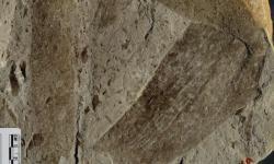 Některé z mnohobuněčných organismů uchovaných v 1,56 miliardy let staré hornině měly mít na délku i více než 30 centimetrů.(Kredit: Maoyan Zhu)