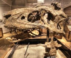 Částečně dochovaná lebka a obratel bistahieversora v expozici New Mexico Museum of Natural History and Science (Muzea přírodních věd Nového Mexika) ve městě Albuquerque. Fosilie tohoto vzdáleného příbuzného slavnějšího druhu Tyrannosaurus rex je stará kolem 74,5 milionu let. Lebka holotypu měří na délku 108 cm a je tedy zhruba o 4 decimetry kratší než u největších známých exemplářů tyranosaura. Kredit: Lee Ruk; Wikipedie (CC BY-SA 2.0)