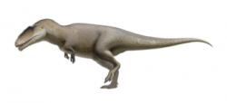 Do první pětky největších známých teropodních dinosaurů patří i severoafrický karcharodontosaurid Carcharodontosaurus saharicus. Odhady délky tohoto dravého obra, žijícího zhruba před 95 miliony let, dosahují více než 13 metrů. Jeho hmotnost se pravděpodobně pohybovala kolem 7000 kilogramů, je však možné, že se vyskytli ještě podstatně větší jedinci, jejichž fosilie neznáme (a ani nikdy nebudeme). Samotná lebka tohoto teropoda dosahovala délky až kolem 160 centimetrů. Kredit: Fred Wierum, Wikipedie (CC BY-SA 4.0)