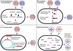 Rekombinace u virů. Kalifornské monstrum by mělo být vytvořené mechanismem B (Template switching). Kredit: Dennehy, J. (2016), Ann. N.Y. Acad. Sci.