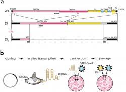 Kompletní virus (WT) a defektní genomy (DI0 a DI1). Kredit: Yao et al. 2021.