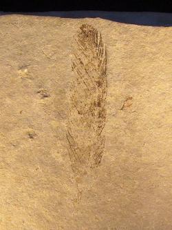 První fosílie archeopteryxe, objevená roku 1860 u bavorského Solnhofenu. O půldruhého století později posloužilo toto izolované fosilní pero k rozluštění barvy dávného jurského opeřence. Kredit: H. Raab, Wikipedie