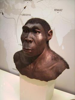 Homo erectus. Kredit: Lillyundfreya / Wikimedia Commons.
