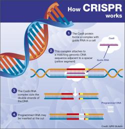 CRISPR. Kredit: MRS Bulletin.