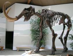 Mamut. Stanou se zkoster živá zvířata? Kredit: Lou.gruber / Wikimedia Commons.