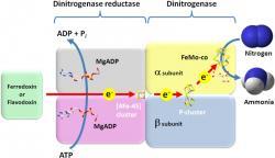 Schéma fungování nitrogenázy. Kredit: Juanita JP, Wikimedia Commons.