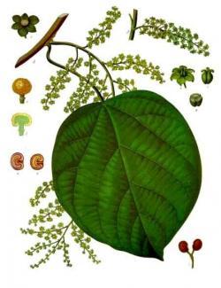 Kebule či chebule korková. Keřovitá liána, jediný druh rodu. Pochází z Asie. Plody i kůra obsahují jedy s nimiž domorodci lovili ryby a vyráběli z nich šípový jed. Kredit: Franz Eugen Köhler,Köhler