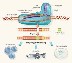 CRISPR/Cas9 v akci. Kredit: OriGene