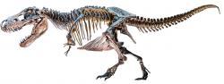 V roce 1905, kdy byl Tyrannosaurus rex formálně popsán, už bylo známo nejméně šest nebo sedm fosilií, patřících různým exemplářům tohoto obřího dravého dinosaura. Trvalo ale ještě celé století, než byly vyjasněny některé základní hádanky, pojící se k tomuto teropodovi. Dnes už jsme si jistí, že byl aktivním lovcem i mrchožroutem, tělo držel horizontálně a jeho ocas přitom vyvažoval extrémně těžkou hlavu. V neposlední řadě také víme, že tyranosauři měli stálou tělesnou teplotu a v rámci své hmotnosti byli také poměrně agilní. Kredit: Evolutionnumber9; Wikipedie (CC BY-SA 4.0)
