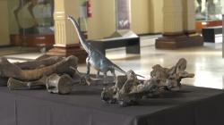 Prezentace fosilií chilského sauropoda druhu Arackar licanantay v Národním přírodovědeckém muzeu v Santiago de Chile. Objevené obratle a části kostry končetin i pánevního pletence patřily mláděti sauropodního dinosaura, žijícího v období pozdní křídy na území dnešní pouště Atacama. Kredit: Mediabanco Agencia; Wikipedia (CC BY 2.0)