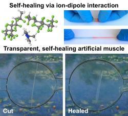 Průhledné a regenerující umělé svaly. Kredit: University of California – Riverside.