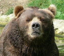 Medvědi obcházejí kolem trhu. Kredit: Wikimedia Commons.