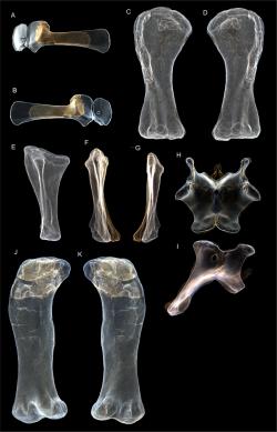 Trojrozměrné virtuální modely fosilií typového exempláře druhu A. cooperensis. Samotná stehenní kost tohoto dinosaura měří na délku asi 215 centimetrů. Autoři popisné studie spočítali, že australský sauropod dosahoval délky až kolem 30 metrů a výšky hřbetu až 6,5 metru. Kredit: Hocknull et al. (2021); Wikipedia (CC BY-SA 4.0)