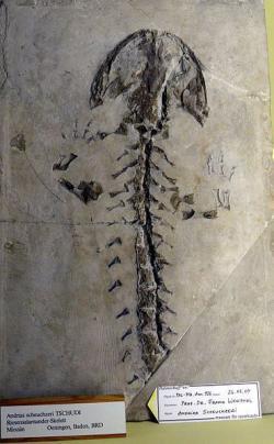 Kostra miocénního mloka druhu Andrias scheuchzeri z německého Bádenska. Před necelými třemi stoletími v ní Scheuchzer spatřoval pozůstatek dítěte, které zahynulo při biblické potopě světa. Kredit: Haplochromis, Wikipedie.