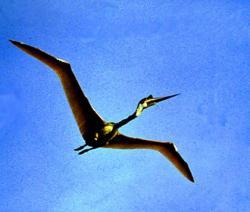 Pohled na letící model kvecalkoatla, pořízený v průběhu příprav natáčení dokumentu On the Wingpro IMAX (1986). Několikaminutový let plně funkčního mechanického ptakoještěra patří ke kuriózním, avšak dnes téměř zapomenutým milníkům ve výzkumu leteckých schopností pterosaurů. Kredit: IMAX, web Edge Ascension