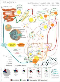Logistika lipidů vtěle. Kredit: Peter Foster.