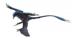 Microraptor gui byl malým opeřeným teropodem, který obýval oblasti současné severovýchodní Číny v období rané křídy (asi před 120 miliony let). Je jedním z prvních neptačích dinosaurů, u nichž bylo zjištěno přibližné zbarvení peří, a to díky zachovaným pozůstatkům melanozomů (buněčných organel, obsahujících barviva). Tito drobní dravci byli zřejmě leskle černí, podobně jako například dnešní havrani. Kredit: Fred Wierum; Wikipedie (CC BY-SA 4.0)