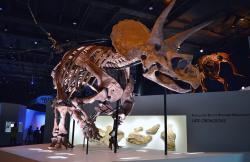 """Exemplář """"Lane"""", který po sobě zanechal i otisky kůže z poměrně velké části povrchu svého těla. Kostra je umístěna v expozici Houston Museum of Natural Science. Kredit: Agsftw, Wikipedie (CC BY-SA 3.0)"""