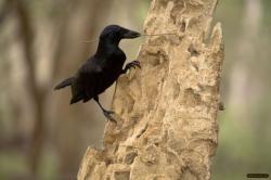 Nebezpečně inteligentní vrána novokaledonská. Kredit: Jolyon Troscianko / jolyon.co.uk.