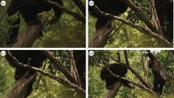 Z�padoafri�t� �impanzi lov� s�d�ev�n�m o�t�pem. Kredit: Pruetz et al. (2015) Royal Society Open Science.