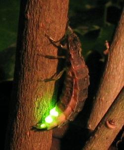 Luciferázu známe třeba od světlušek. Kredit: Wofl / Wikimedia Commons.