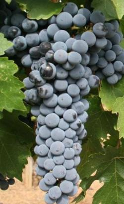 Cabernet Sauvignon z Washingtonu. Jak by asi explodoval? Kredit: Agne27 / Wikimedia Commons.