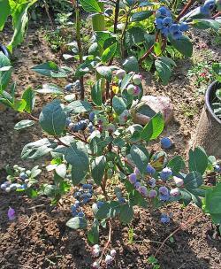 Brusnice chololičnatá vulgo kanadská borůvka. Kredit: Darkone / Wikimedia Commons.